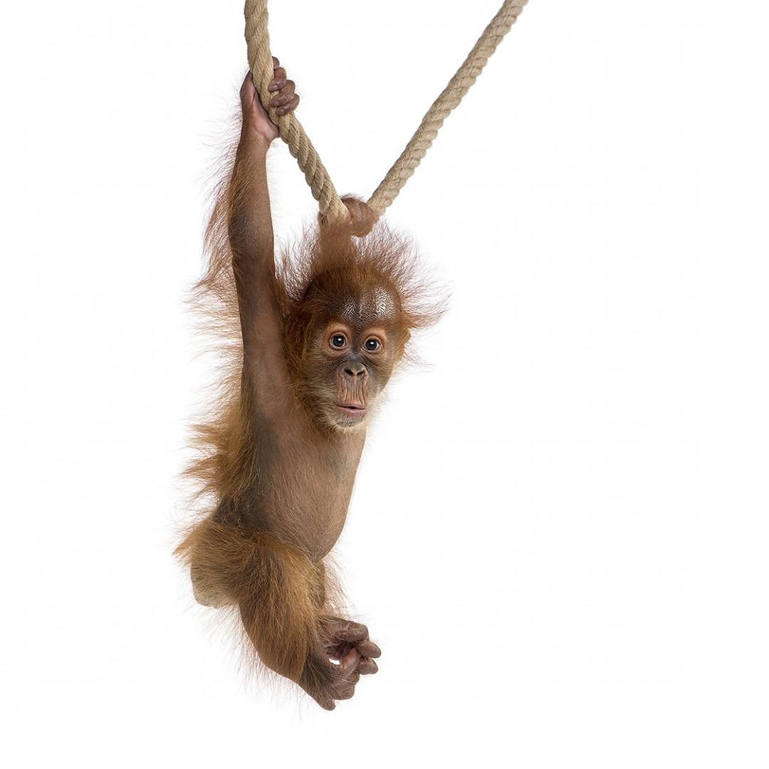 Baby Sumatran Orangutang (4 months old), hanging on a rope, stud