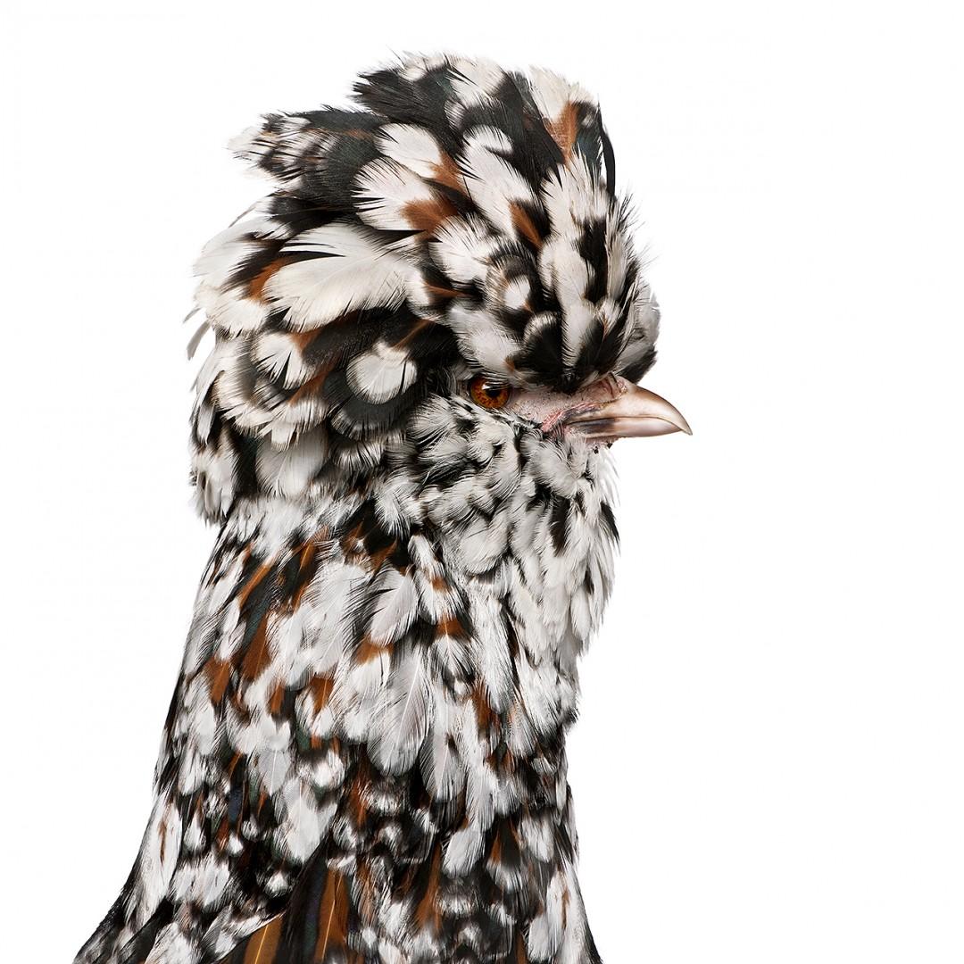 Tollbunt (tricolor) Polish chicken (6 months old)