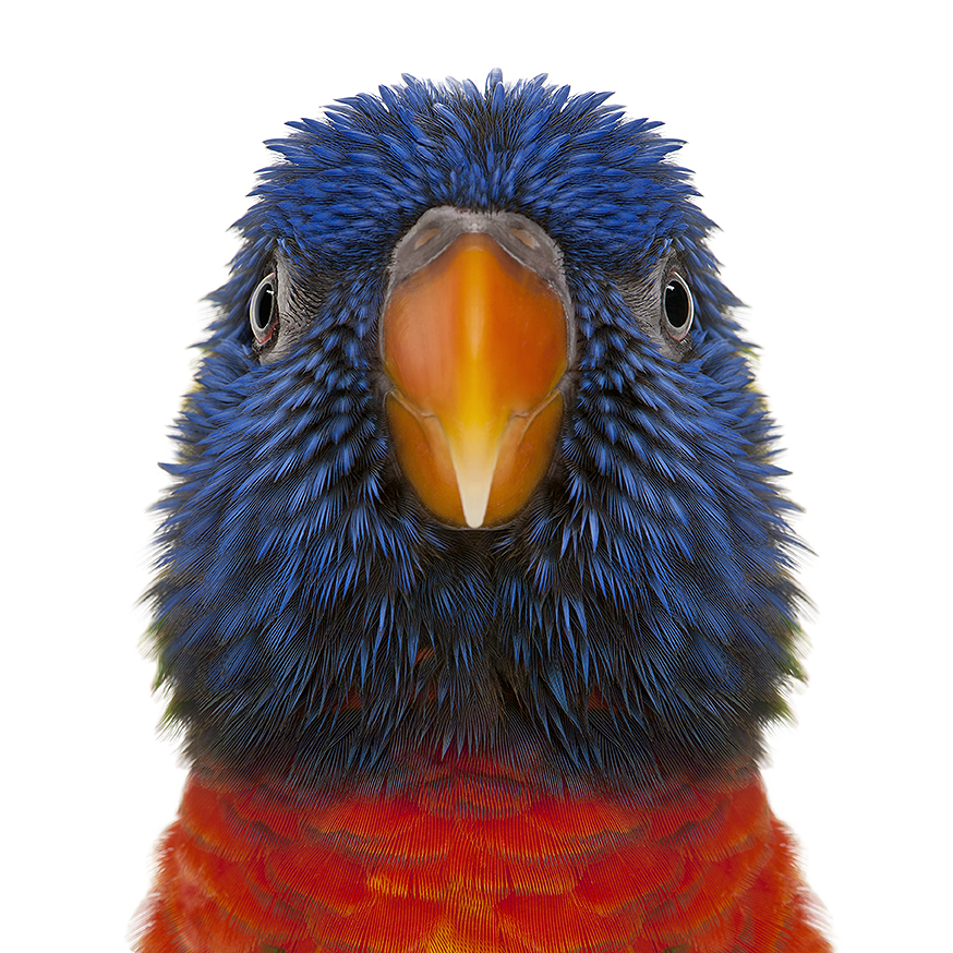 Rainbow Lorikeet - Trichoglossus haematodus (3 years old)