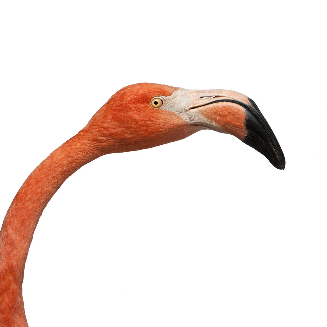 Close-up of American Flamingo,