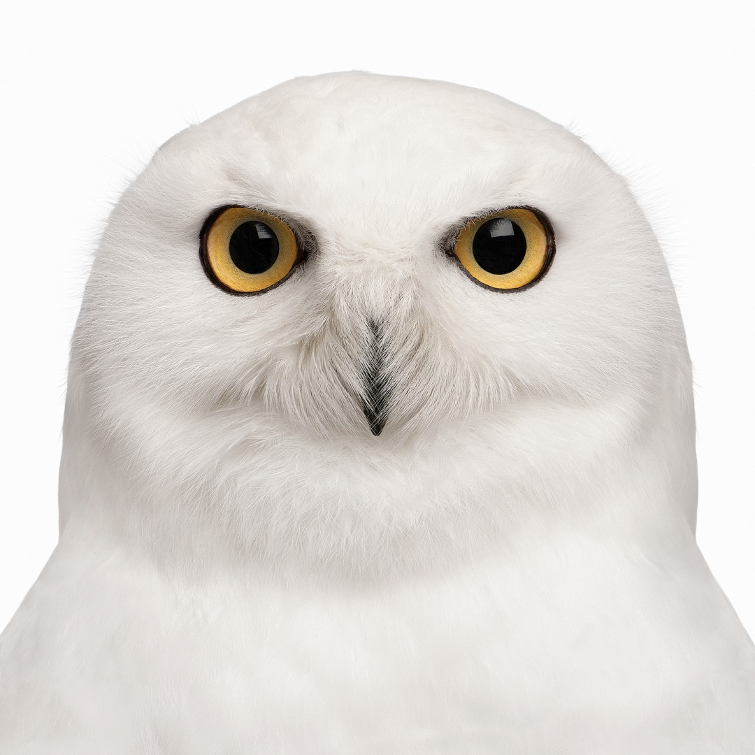 male Snowy Owl (Bubo scandiacus) (8 years old)