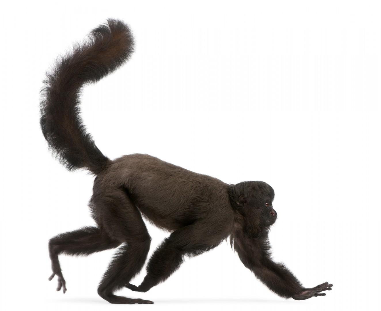 Black Bearded Saki - Part of the book Zoo'M : http://goo.gl/g7j31Q