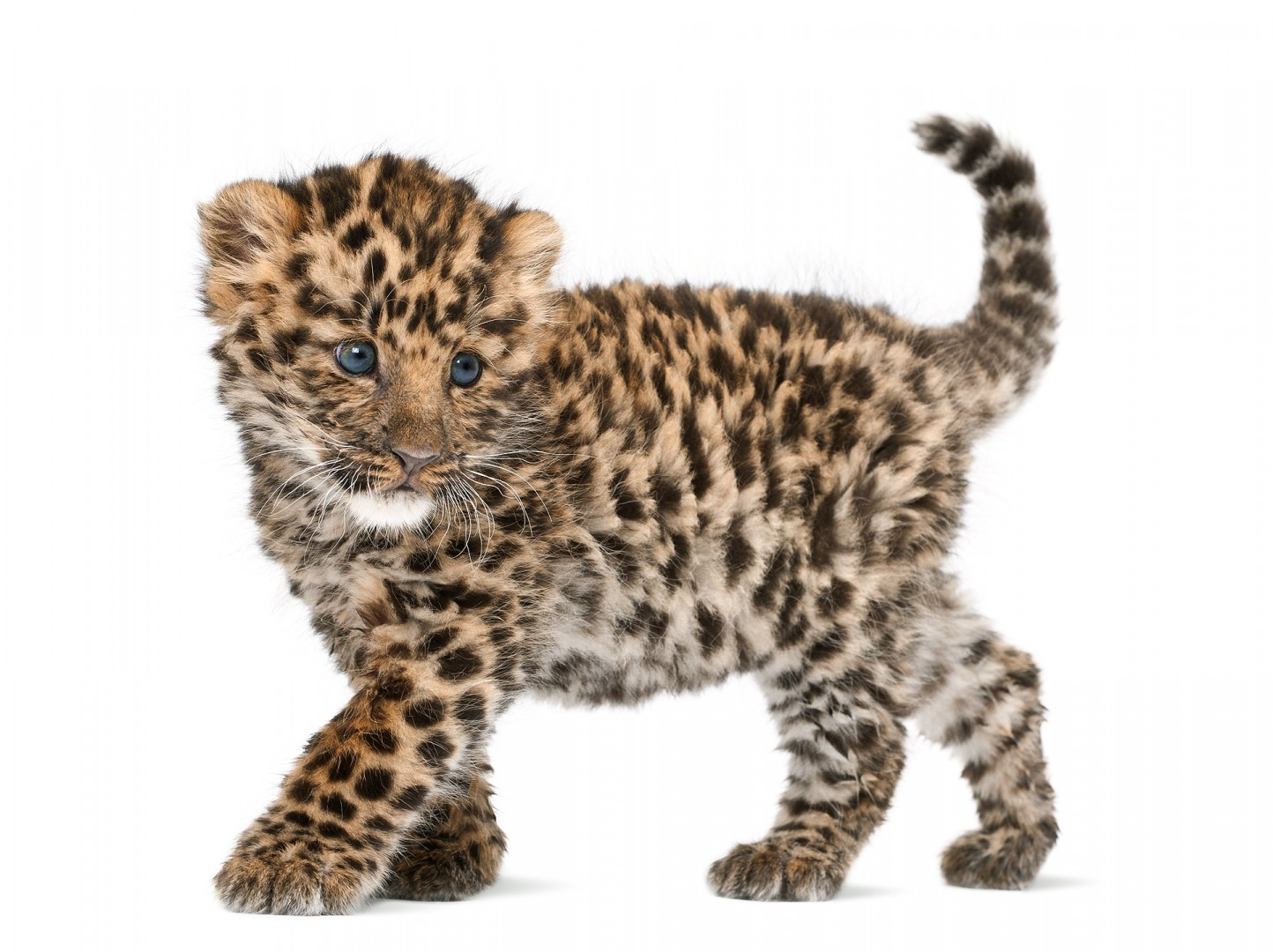Amur leopard cub - Part of the book Zoo'M : http://goo.gl/g7j31Q