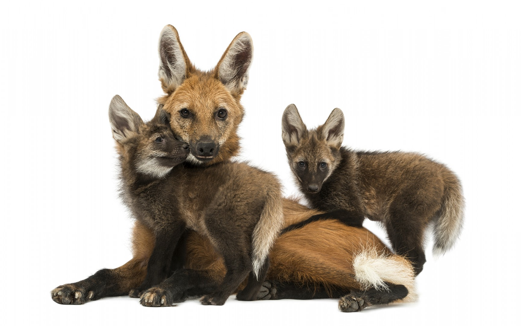 Maned Wolf mom and cubs cuddling - Part of the book Zoo'M : http://goo.gl/g7j31Q