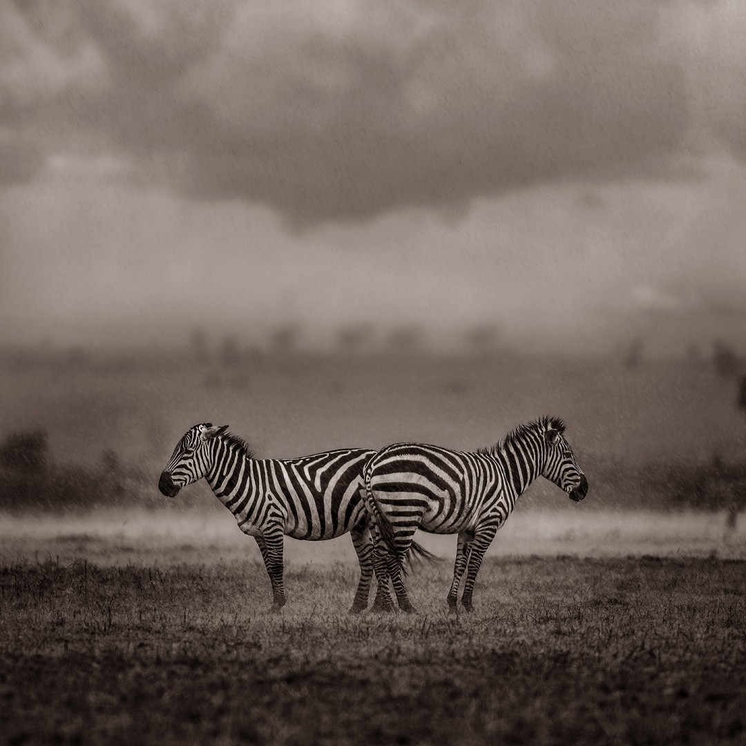 Two Zebras Under the Storm