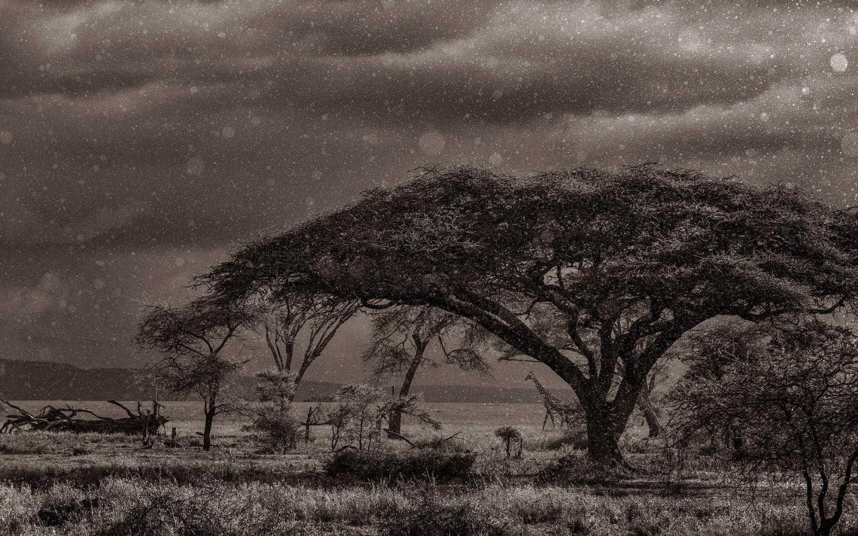 Giraffe walking in the rain against the light