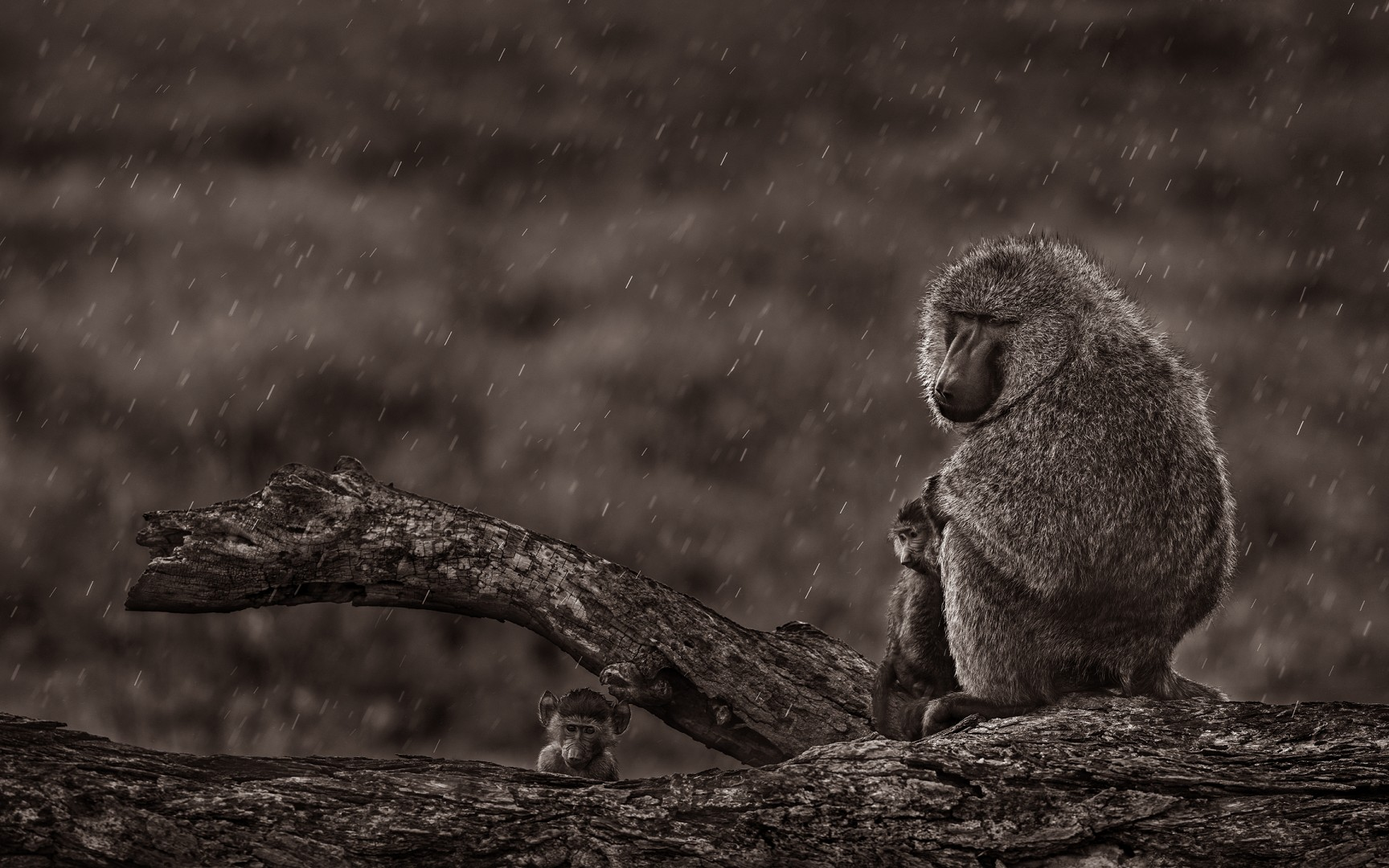 Olive baboon and her babies in the Rain