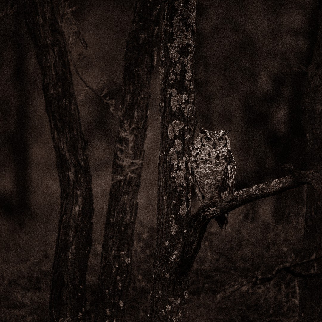 African owl in the undergrowth under light rain