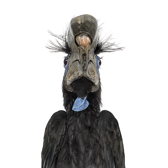 Black Casqued Hornbill