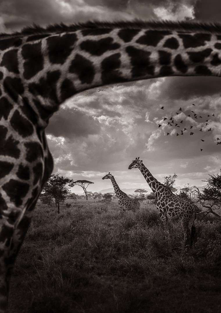 Look through the giraffe