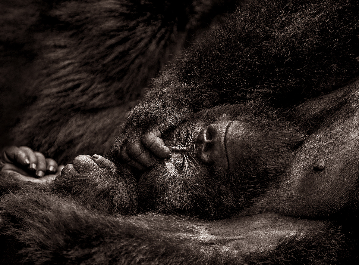 female Mountain gorilla sleeping, Virunga National Park, DRC, Africa