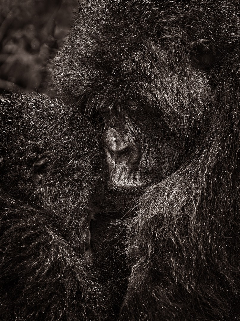 Motherly love - Virunga national park
