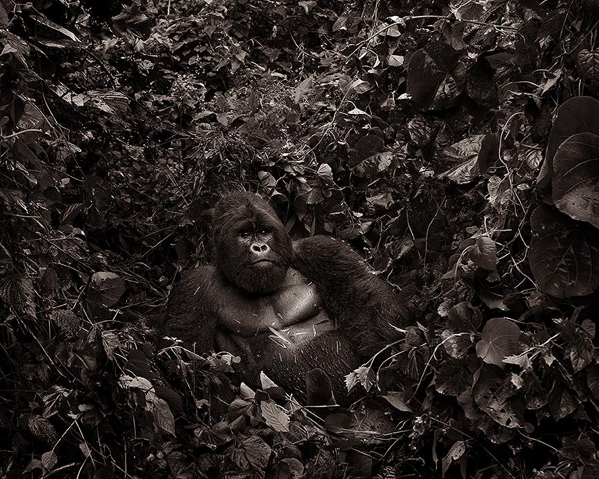 Resting silverback - Virunga national Park